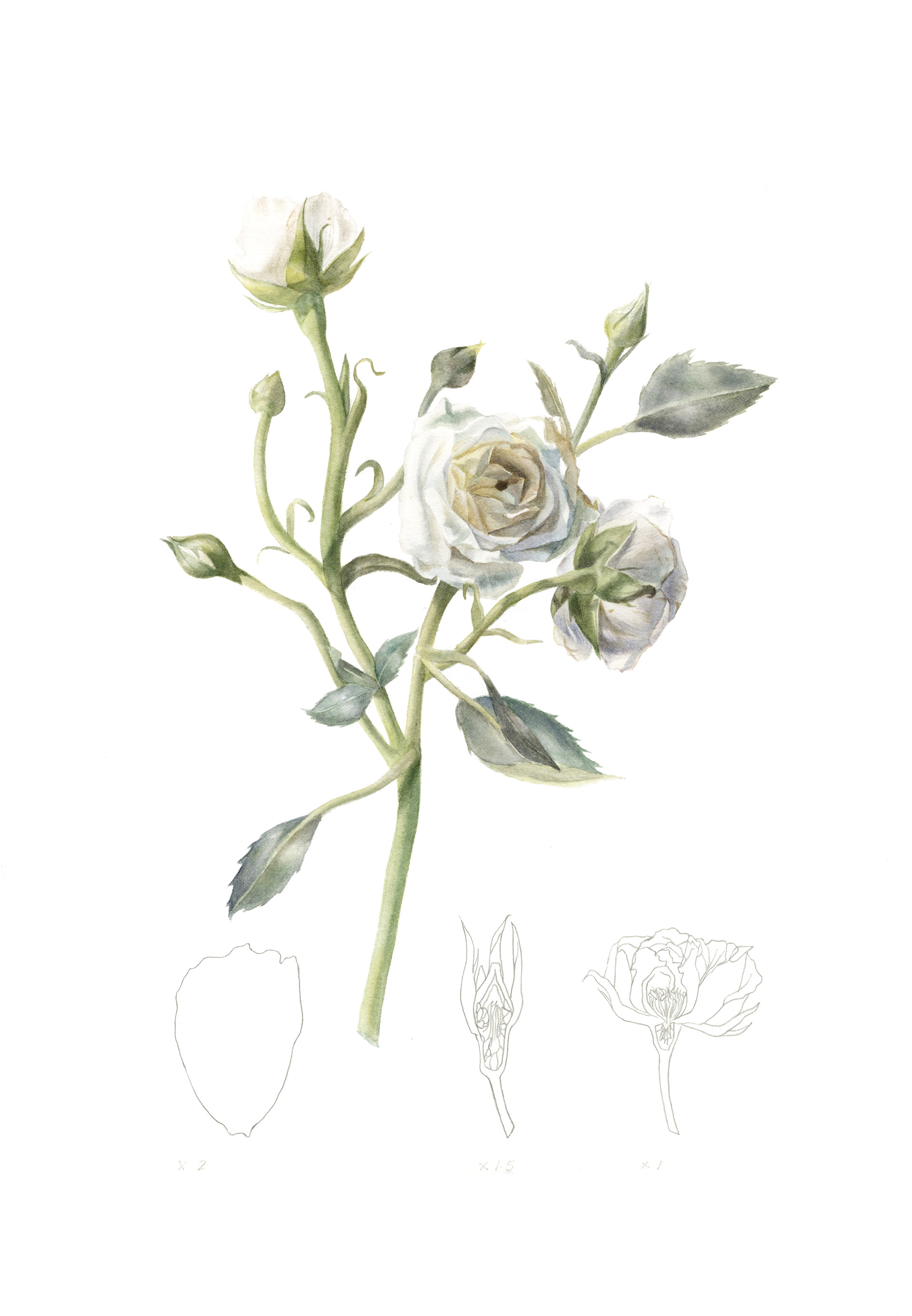 Kin Lok Ching White Tea Rose