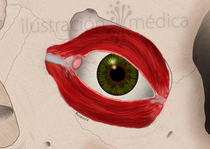 Manuel Romera, medical illustrator - Vías lacrimales