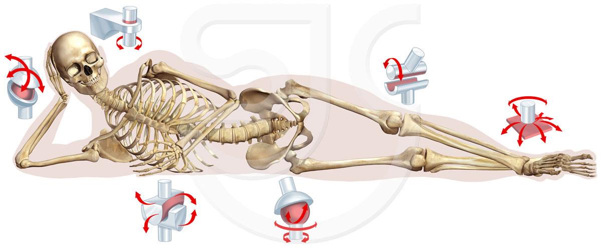 Stuart Jackson Carter Sjc Illustration Joints Human Skeleton