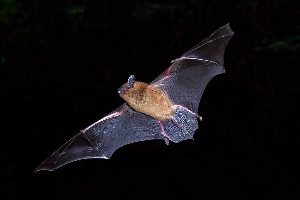 Grande chauve-souris brune en vol, par Bill Kraus
